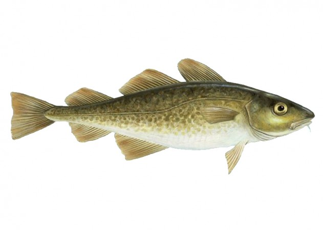 cod fish spearfishing