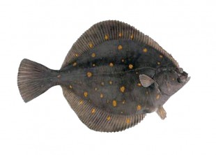 gray flounder