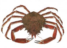 Spider Crab Ireland