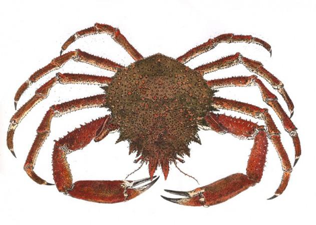 Spider Crab Ireland