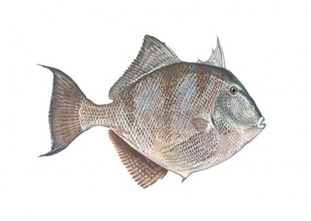 triggerfish ireland